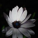 Gentle Daisy by Lozzar Flowers & Art