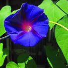 The Purple Mornnig Glory by Bearie23
