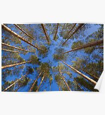 shot looking up at a canopy of pine trees Poster