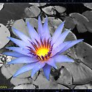 Water Lilly by PrettyKitty