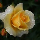 Yellow Rose Of Capel As Is by Gary Wooldridge