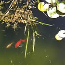 The Fish Pond is looking Good, 'Arilka', Mt.  Pleasant. by Rita Blom