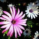 *Daisy Daisy in my garden - brightens each day* by EdsMum