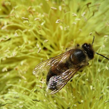 Bee on banksia by malleus