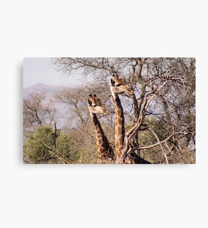 DID YAH SEE THAT..! Giraffe camelopardalis Canvas Print