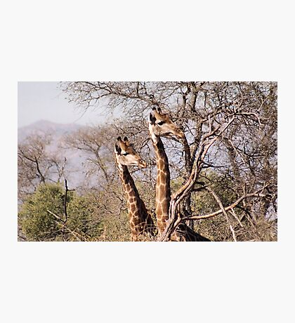 DID YAH SEE THAT..! Giraffe camelopardalis Photographic Print