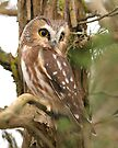 Northern Saw-whet Owl by Todd Weeks