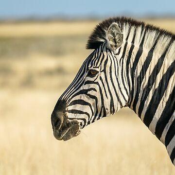 Zebra portrait black and white stripe in dry orange African landscape by brians101