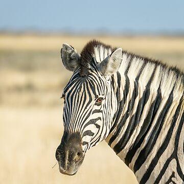 Zebra portrait in golden grass. by brians101