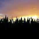 Cornstalks in Silhouette by Brian Gaynor