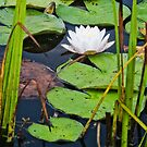 Framed Water Lily by Andrew Stockwell