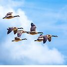Canada Geese Fly-by by Dave  Knowles