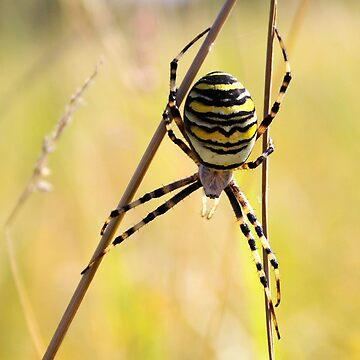 Acrobatic Wasp Spider by Jokus