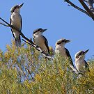 Family of Kookaburras, Kardinya, W.A. by Sandra Chung