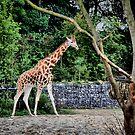 Giraffe ... by SNAPPYDAVE