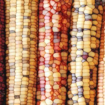 Colorful Corn Kernels by perkinsdesigns