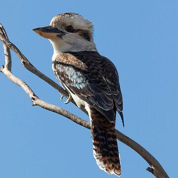 Kookaburra, Kardinya, W.A. by Sandra