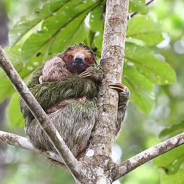 Three-toed Sloth - Costa Rica by darby8