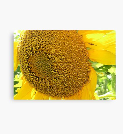 Bug On Sunflower Canvas Print