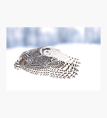 Wings - Snowy Owls Photographic Print