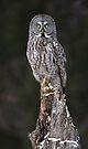 The Phantom - Great Grey Owl by Jim Cumming