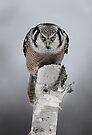 Hawk on log portrait - Northern Hawk Owl by Jim Cumming