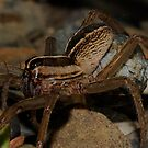 Wolf Spider - Egg sack by main1