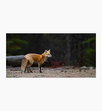 Red Fox Landscape - Algonquin Park, Canada Photographic Print
