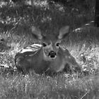 Bambi in Black & White by Martha Medford