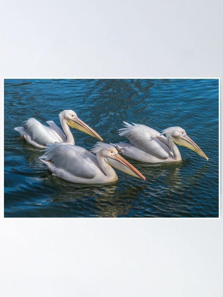 Alternate view of Three pelicans up close Poster