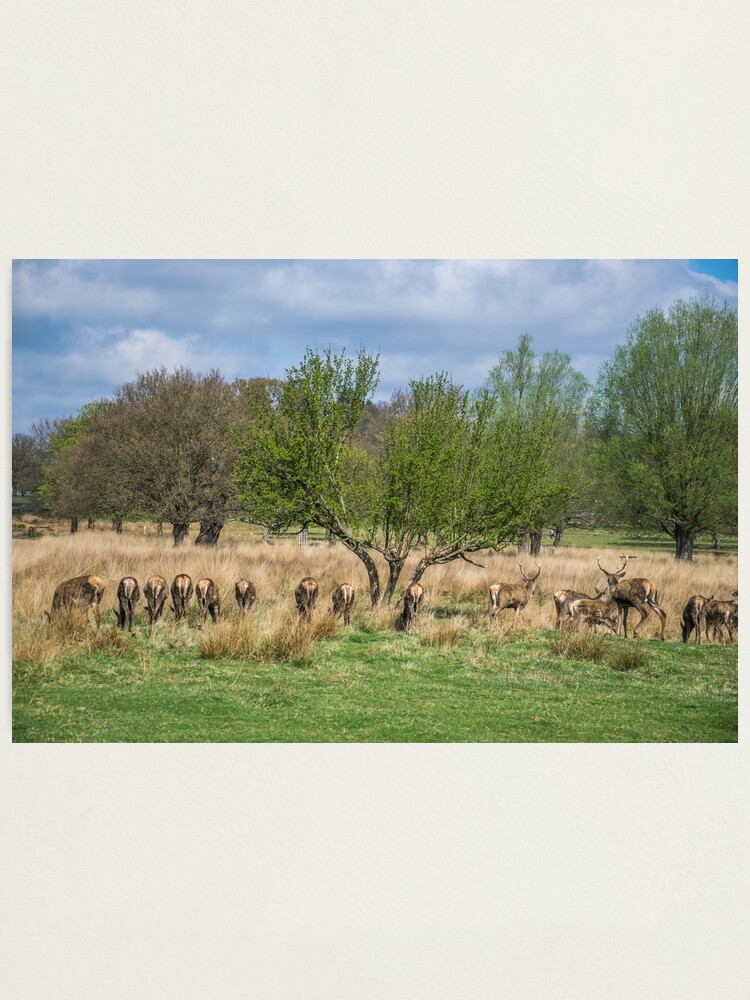 Alternate view of Deer in Richmond Park, London Photographic Print