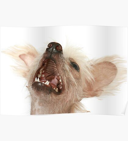 Chinese Crested Poster