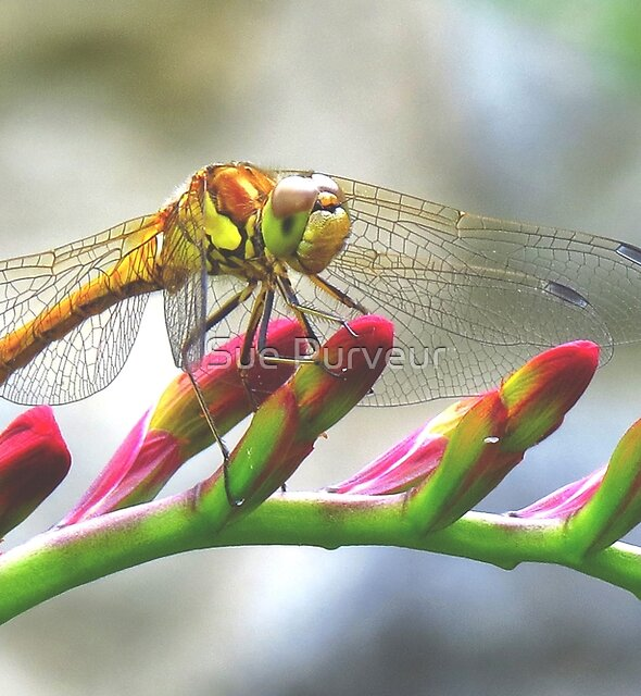 Today I saw the dragon-fly by Sue Purveur