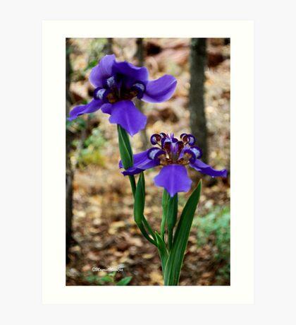 Neomarica caerulea – Walking Iris Art Print
