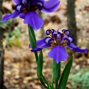 Neomarica caerulea – Walking Iris by mags