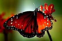 ~Just like a butterfly... by a~m .