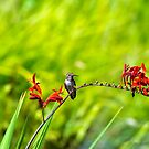 Young Rufous Hummingbird perched on flower stalk of Crocosmia plant in summer by davidgnsx1