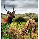 Young Roosevelt Elk by Chelsea Brewer