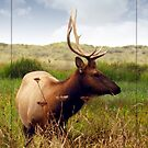 Young bull by Chelsea Brewer