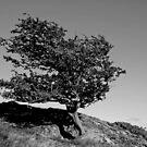 Wind Swept Tree on Snowdonia Hillside by JMChown