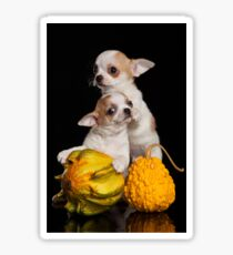 Two puppies chihuahua on a black background Sticker