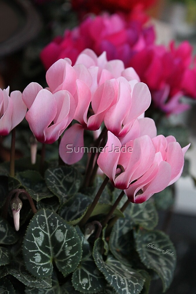 Pink Cyclamen ~ A Living Decoration by SummerJade