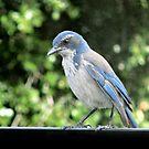 Blue Bird by Ellen Cotton