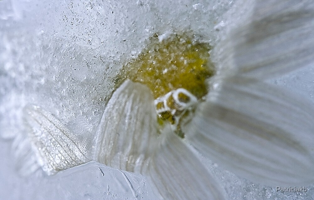 Iced white daisy by Patriciakb