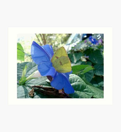 Sulphur Butterfly in Morning Glory Art Print