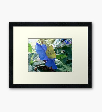 Sulphur Butterfly in Morning Glory Framed Print