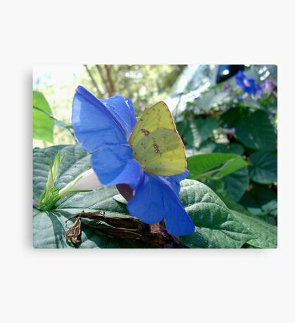 Sulphur Butterfly in Morning Glory Canvas Print