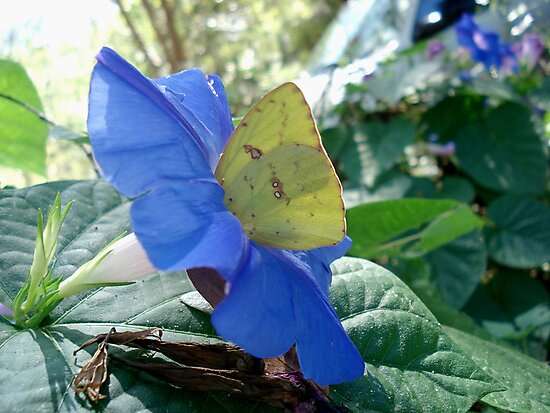 Sulphur Butterfly in Morning Glory by May Lattanzio