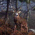 Buck on ridge - White-tailed Deer by Jim Cumming