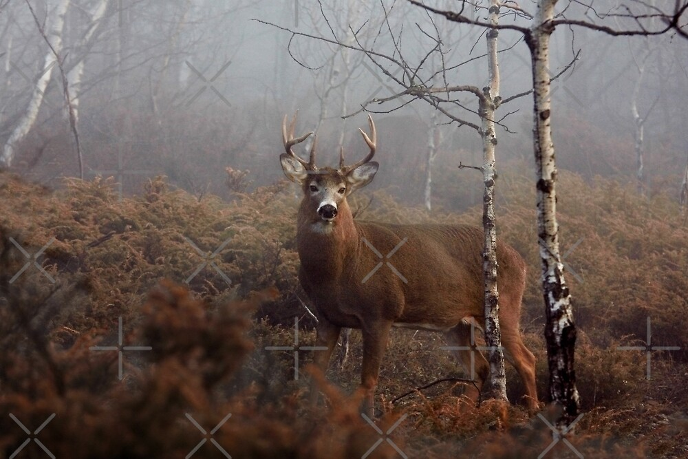 Buck - White-tailed Deer by Jim Cumming